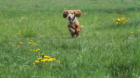 hunting dog : Cocker Spaniel runing on a green meadow