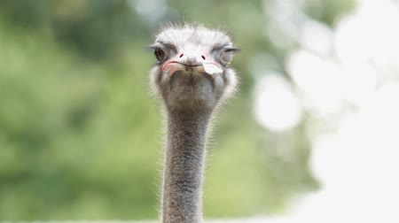 pštros : Portrait of Ostrich