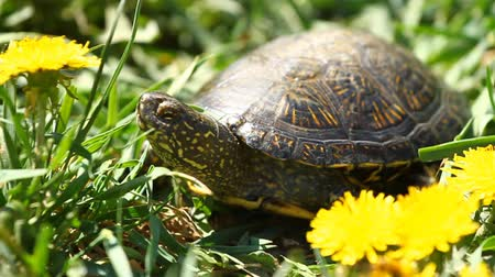 земной : Tortoise on the Grass with Dandelions