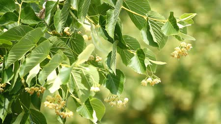 linden : Blossoming flowers of linden tree