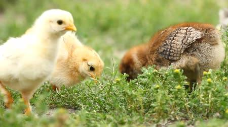 csaj : Baby chicks on the green grass