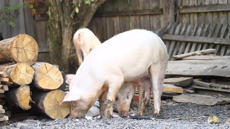 porky : Piglets on the farmyard. Stock Footage