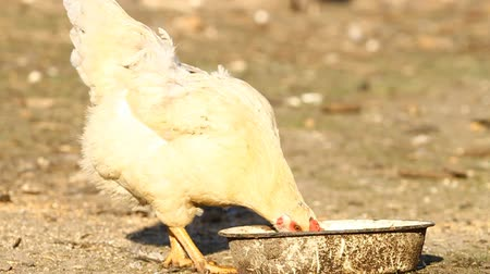 ital : White chicken drinks water