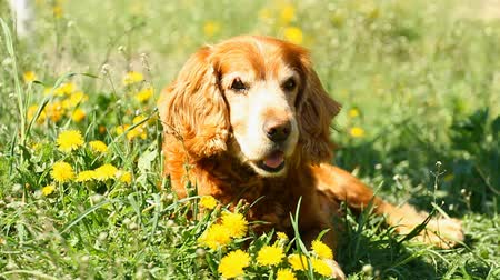 hunting dog : English Cocker Spaniel on the Flowers