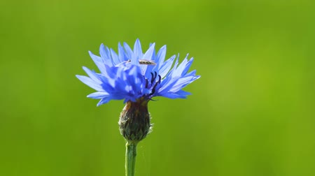 peygamberçiçeği : Blue cornflower on the green background and Insect Stok Video