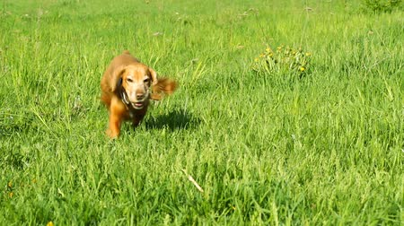 hunting dog :  Cocker spaniel runing on the green grass
