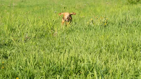 hunting dog : Running Cocker Spaniel on the green grass