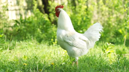 cockrel : Beautiful white rooster in the green grass Stock Footage
