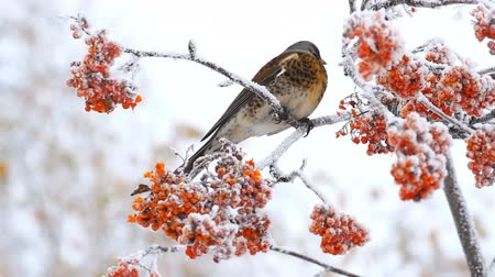 rowanberry : Thrush eats rowan berry in winter