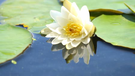 pétalas : Water lily with green leaves on the lake