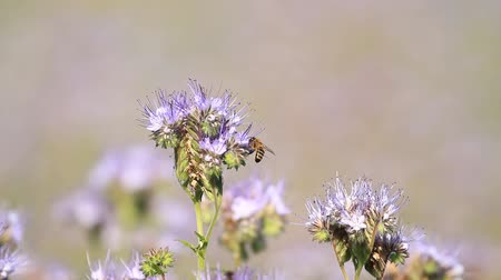yazlık : Blossom phacelia flowers and bees pollinate