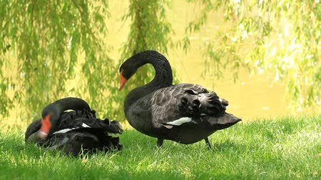 лебедь : Two black swans on the shore of the lake