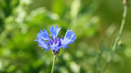 chabry : Flower of blue cornflower on the green background
