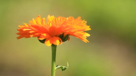 calendula blossoms : Flower of calendula herb plant in blossom Stock Footage