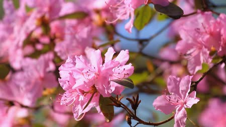 rhododendron : Pink Azalea flowers blossom in the springtime Stock Footage