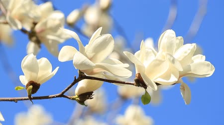 хрупкость : White magnolia flowers on the sky blue Стоковые видеозаписи