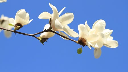 híbrido : White magnolia flowers  blooming on the blue sky . Vídeos