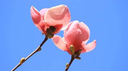 rügyek : Pink magnolia flowers blossoms on the blue sky