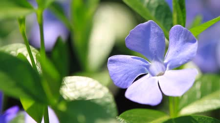creeping : Vinca minor flowers blossom in the garden Stock Footage