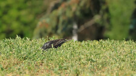 szpak : Starling eating worms in the grass .