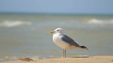 ornitologie : Seagull stands on the sand against the sea