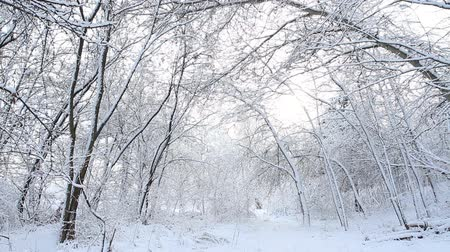 Trees with snow in winter forest. Stock Footage