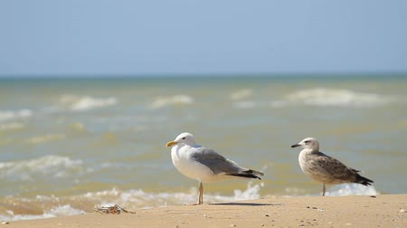 Seagulls walking in the sand