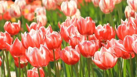 Red and white tulips grow on a flower bed Stock Footage