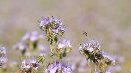 Collect honey from the flowers of Phacelia