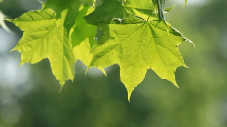 Fresh spring maple leaves swaying in the wind Stock Footage