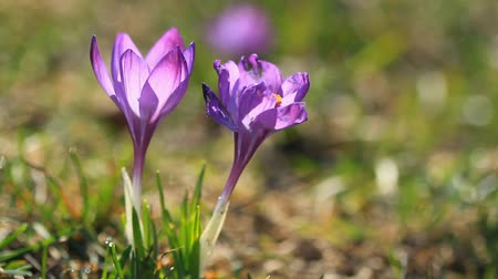 Two crocuses bloom in the sunlight Stock Footage