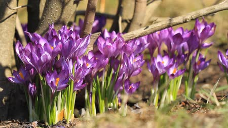 çiğdem : Purple crocuses bloom in springtime near the tree