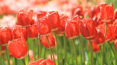 Blooming red tulips in the springtime.