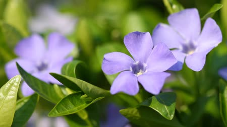сады : Blooming spring flowers of vinca minor and bee Стоковые видеозаписи