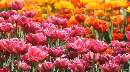 Multicolored tulips growing in spring park Stock Footage