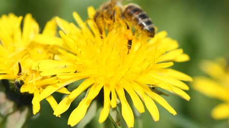 Bee collects nectar on a yellow dandelion Stock Footage