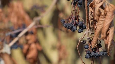 Dry girlish grapes in the wind Wideo