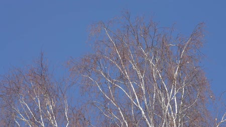 Birch branches spring in the wind Wideo