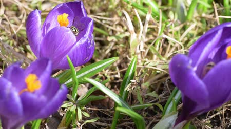 Honey bees collect nectar on crocuses Wideo