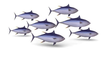 frutos do mar : group of yellow tuna fin on white background, 3d animation loop
