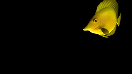 Yellow Tang fish isolated on black background, 3d animation Wideo