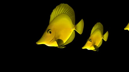 Three Yellow Tang fish isolated on black background, 3d animation