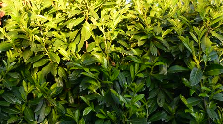 laur : Lush green laurel hedge blowing in the wind. Prunus laurocerasus, Also known as cherry laurel, common laurel and sometimes Inglese laurel.