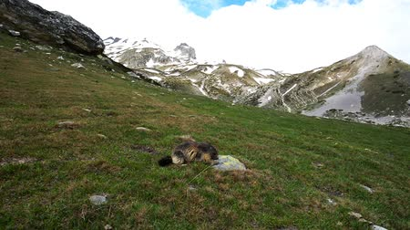 pawed mammal : Cute young marmot eating on the grass in the Italian French Alps.