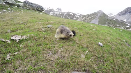 pawed mammal : Marmot getting closer to the bedroom. Italian French Alps Stock Footage