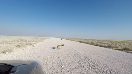 etosha pan : Black Backed Jackals on gravel road, viewed from safari car in daylight. Etosha National Park, the main travel destination in Namibia, Africa.