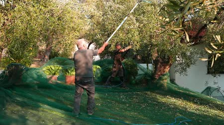 feltörés : Man picking olives from tree using telescopic electric machine, slow motion. Harvesting in Liguria, Italy. Italian olive oil production, organic farm olives orchard.