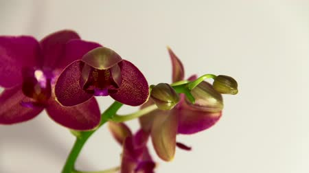 orchideák : Time lapse of an orchid flower bloom, shot over approximately 30 hours