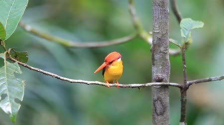 ptak : Oriental Dwarf Kingfisher (Ceyx erithaca) in Sri Lanka Wideo