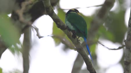forest animals : Long-tailed Broadbill (Psarisomus dalhousiae) in Sumatra, Indonesia Stock Footage